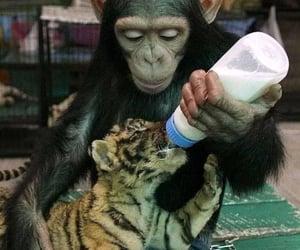 animal, tiger, and monkey image