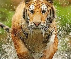 Animales, naturaleza, and tigre image