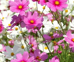 flickr, flowers, and cosmos flower image