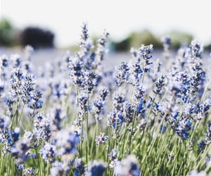 blue, lilac, and nature image