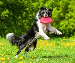 collie dogs, sporting dogs, and the collie dog image