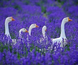 goose, lavender, and flowers image
