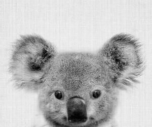 animals and Koala image