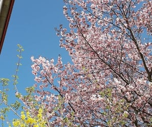 cherry blossoms, flowers, and plants image