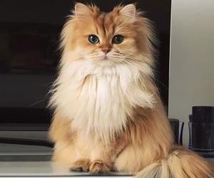 British Longhair Cat Breeds