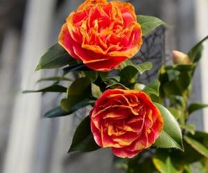 beautiful, flower, and orange image