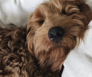 beige, golden doodle, and tan theme image