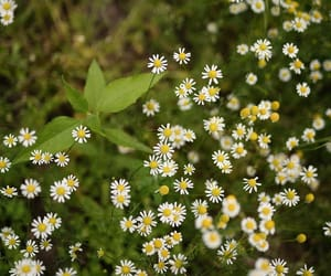 daisies, nature, and wildflowers image