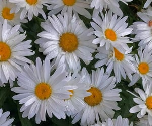 aesthetic, bush, and daisies image