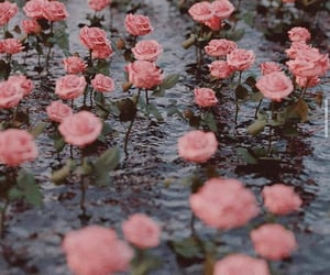 roses, flowers, and pink roses image