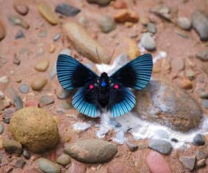 butterfly and apollo metalmark image
