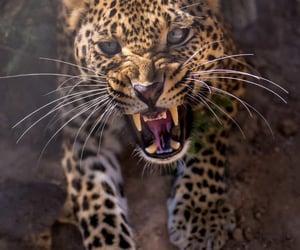 big cat, fauna, and feline image