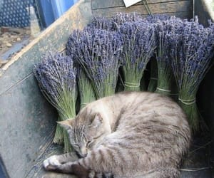cat, herb, and lavender image