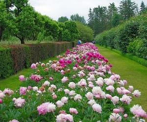 garden, peonies, and border image