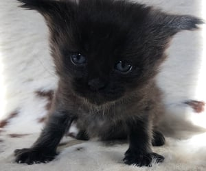 adoption, kitten, and adorable image