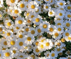 flowers, daisy, and beautiful image