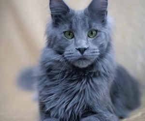 animals, cuteness, and bobcats image