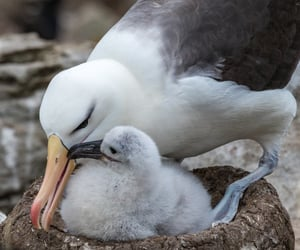 Call of the Wild; Fluffy Seagull Chick with Mother