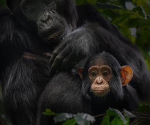 Baby Chimpanzee w/ mom. Kibale National Park, Uganda.