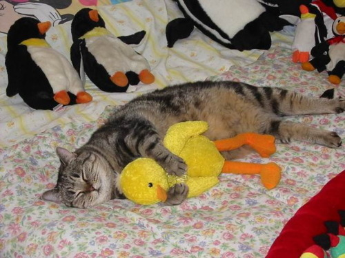 cat and duck image