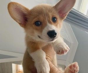 puppy, animal, and corgi image