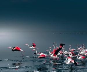 Flamingos, Namibia