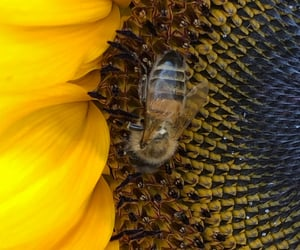 bee, fauna, and insect image