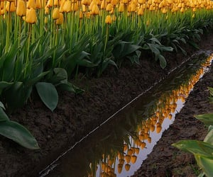 reflection, tulips, and water image