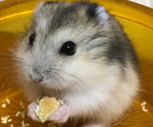 animals, cute, and hamster image