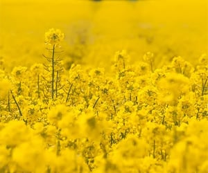 field, nature, and yellow image