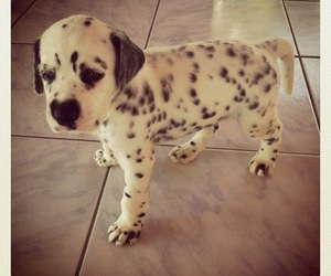dog, cute, and dalmatian image