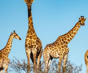animals, free, and giraffes image
