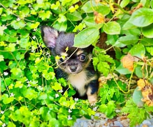 chihuahua, adorable, and cute image