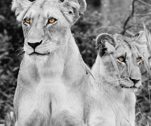 africa, cub, and felines image