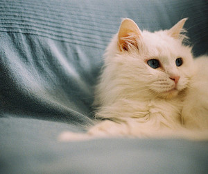 blue eyes, furry, and white image
