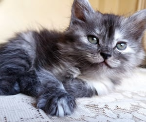 cat, cutest, and grey image