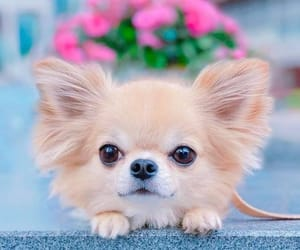 baby animals, puppy, and chihuahua image