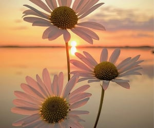 daisies, daisy, and photography image