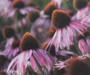 bokeh, gardening, and echinacea image