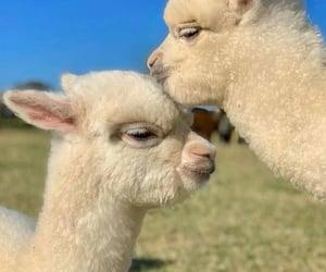 alpaca, Animales, and naturaleza image