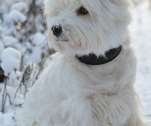 animals, dogs, and westie image