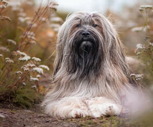 animals, dogs, and tibetanterrier image