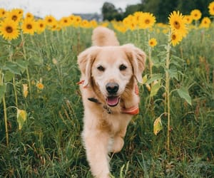 dog, field, and golden retriever image
