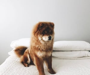 Chow, dog, and chowchow image