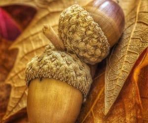 acorn, acorns, and autumn image