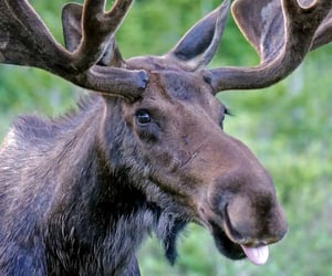 animals, moose, and silly image