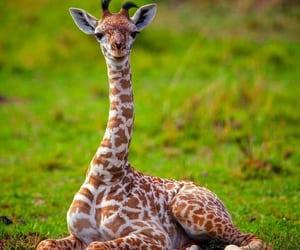 Kenya, Masai Mara, and giraffe cuteness image