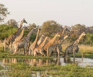 giraffes, Kenya, and nairobi image