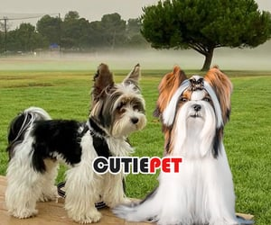 animal, biewer terrier, and dog image