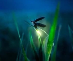 firefly and summers night image